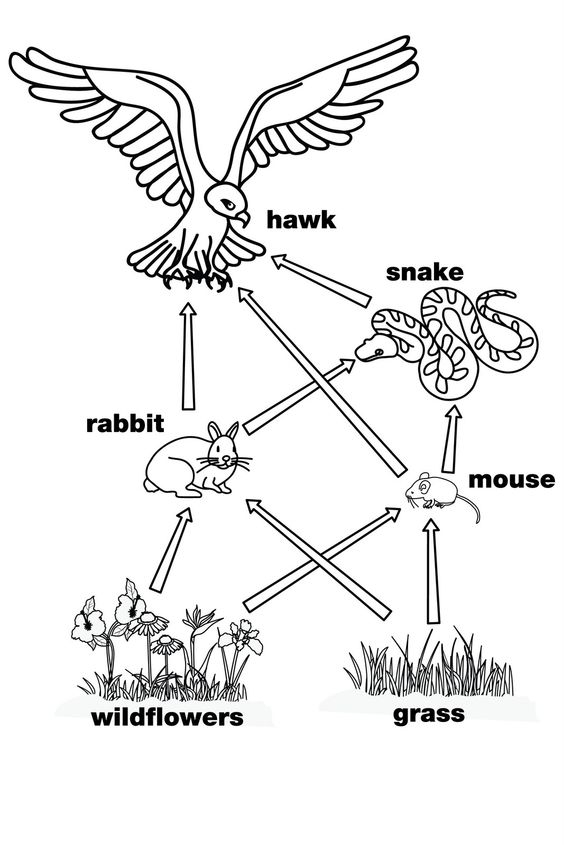 Food Chain Coloring Pages - Coloring Home Regarding Blank Food Web Template Inside Blank Food Web Template